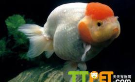 金鱼饲养中正确的投喂方法