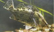 桂花鱼的种类分布(图)