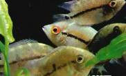 观赏鱼混养的基本原则(图)