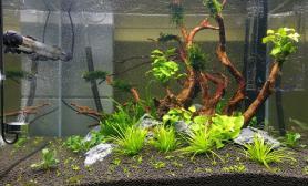 新手开缸11天后水草缸总体比较满意水草缸心得分享沉木杜鹃根青龙石水草泥