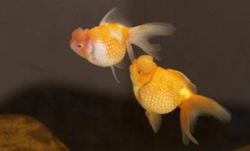 不会游泳的金鱼(图)