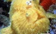 悉尼海域发现黄色安康鱼(图)