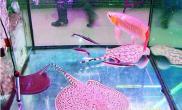 淄博红龙鱼的售价高达6万元(图)