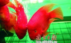 价值百万世界顶级观赏鱼亮相广州(多图)