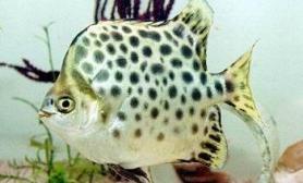 鱼病与用药之常见鱼病(图)