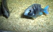 蓝宝石鱼的品种简介