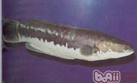 茅尖鱼的外形特点