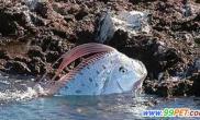 皇带鱼是最长多骨鱼最长可达17米300公斤(图)