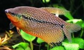 珍珠丝足鱼的生活习性(图)