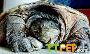 【方法技巧】鳄鱼龟雌雄怎么分辨问答