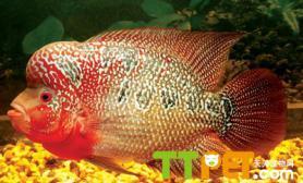 罗汉鱼的寿命一般能活多久