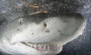 利用条件反射原理将鲨鱼驯成宠物(多图)