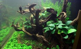 沉木叉柱花和榕类150cm草缸造景图片