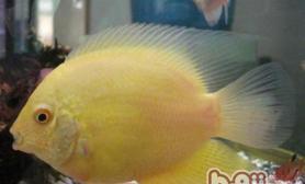 挑选菠萝鱼幼鱼的注意事项