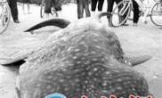 漳州东山捕捞起一鲨鱼放生前死亡尸体重达一吨(图)