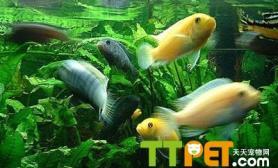 鱼缸水为什么变绿