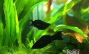 黑玛丽鱼的繁殖介绍