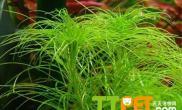养殖丝叶太阳草的方法