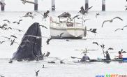 座头鲸露出水面捕食(多图)