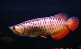 关于龙鱼品相的标准