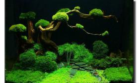 40Cm,moss树杜鹃根趴地迷你矮