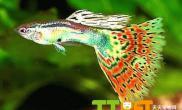 孔雀鱼喂养饲料的选择方法