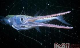 针嘴鱼的外形特点