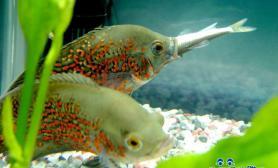 热带鱼混养技巧及注意事项