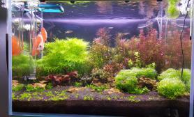 草缸开缸50天景水草缸7-25翻缸45虾缸水草缸发个图大家指导下