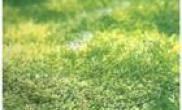野生种凤尾苔该如何移植水族箱内(图)