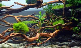 120CM杜鹃根辣椒榕石木景图片