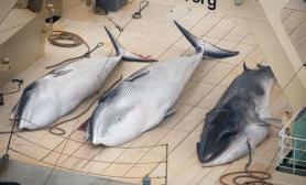 濒临灭绝人类20世紀捕捉近300万条鲸鱼