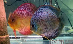 七彩神仙鱼的六种刺激繁殖法