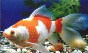 草金鱼的喂养及生存环境