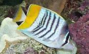 默氏蝴蝶鱼的外形特点