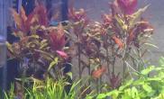 各位大神水草缸高温下水草能挨多久水草缸还有那红色水草是什么