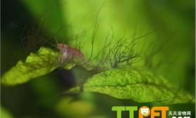 鹿角藻清除的方法