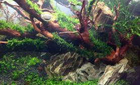 新购的杜鹃根水草缸重新造景鱼缸水族箱