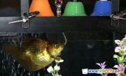 世界上第一条会奏乐的天才金鱼(图)