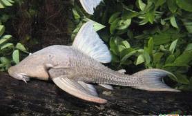 吃木材的甲鲶鱼(多图)