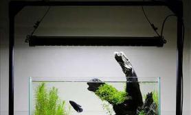这个石景缸水草缸只有一条孤独的斗鱼……
