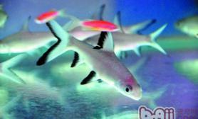 银鲨的外形特点