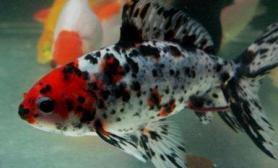 关于五花草金鱼的资料介绍