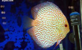 七彩神仙鱼驱体内寄生虫方法