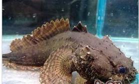 三棘狮子鱼的饲养环境