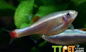 金丝鱼的繁育