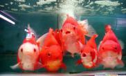 金鱼死因是水中缺氧不是喂食太多(图)