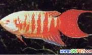 中国斗鱼培育的新品种(多图)