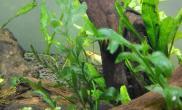 新手请教这是什么藻怎么去除鱼缸水族箱