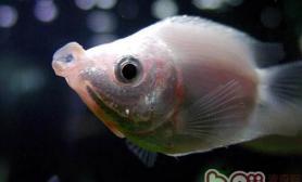接吻鱼的喂食要点